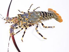 """Panulirus ornatus: Everything about this spiny lobster conspires to make it a seafood status symbol. Its porcelain-perfect exoskeleton is overlaid with blue and orange decorations so striking that the word """"ornament"""" appears in its scientific name. It shuns the cooking pot altogether and is served raw, sashimi style, typically at Chinese weddings."""
