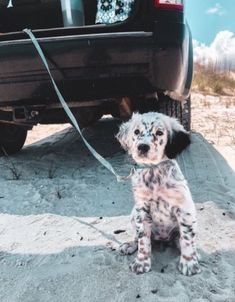 """English Setter Welpe - Hunde Welpen - Puppy love ❥ - Tips for Training and Educating Dogs """"Man's best friend"""", """"The id Cute Dogs And Puppies, Baby Dogs, Pet Dogs, Dog Cat, Doggies, Puppies Puppies, Terrier Puppies, English Setter Puppies, English Setters"""