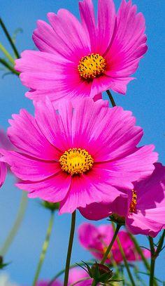 Cosmos Flowers, Exotic Flowers, Amazing Flowers, Colorful Flowers, Pink Flowers, Beautiful Flowers, Beautiful Gorgeous, Beautiful Stories, Summer Flowers