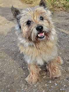 cairn terrier cairn terriers | Flickr - Photo Sharing!
