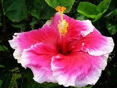 Pink hibiscus around the property at Napili Point Resort