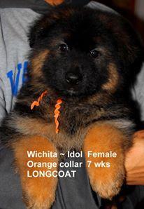 Mittelwest Kennels, a German Shepherd breeder offering registered German Shepherd litters of puppies for sale from high quality German Shepherd pedigrees.