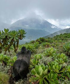 """A young silverback mountain gorilla pauses as the clouds lift to reveal Mt Sabinyo one of the extinct Virunga volcanoes. It was on the slopes of Sabinyo that von Beringe who eastern gorillas and many other species are named after first """"collected""""/shot two gorillas in 1902 and scientifically documented them. The Virunga range and nearby Bwindi forest hold the 4 national parks (3 continuous) of Rwanda Uganda and DR Congo that are the last refuge for the two mountain gorilla populations…"""