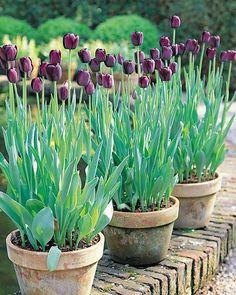 tulip queen of night