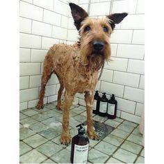 She tested dog shamoo from L:A BRUKET and is completly amazed .....  Hau Hau - szampon dla psów L:A BRUKET zdał egzamin celująco :)  http://sklep.sveaholistic.pl/la-bruket-naturalny-szampon-dla-psa-limonka-mieta-drzewo-herbaciane-85.html