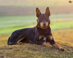 Find out which automatic and manual dog ball launchers are safe, convenient to use, and suited for the exercising and entertainment needs of you and your pup Australian Shepherds, Australian Cattle Dog, West Highland Terrier, Scottish Terrier, Rottweiler, Dog Ball Launcher, Husky, Life Is Ruff, Farm Dogs
