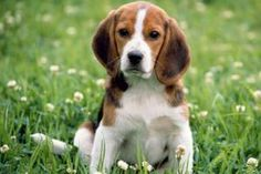 Beagle puppies are among the cutest critters on God& green Earth. Have a look at Beagle Puppies images gallery. Cute Beagles, Cute Puppies, Cute Dogs, Dogs And Puppies, Toy Dogs, Hound Puppies, Beagle Dog Breed, Beagle Puppy, Baby Beagle