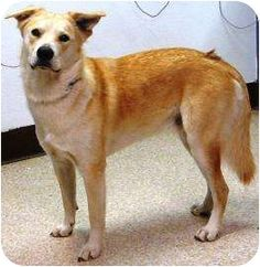 """Dinkus"" Breed: 	Labrador Retriever/Husky Mix 	Color: 	Tan/Yellow/Fawn 	Age: 	Young  Size: 	Large 61-100 lbs (28-45 kg) 	Sex: 	Male 	ID#: 	13369101 High Kill in Pasco, WA"