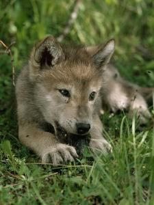 Wolf Images, Wolf Pictures, Funny Animal Pictures, Cute Funny Animals, Cute Baby Animals, Beautiful Wolves, Animals Beautiful, Wolf Husky, Coyotes
