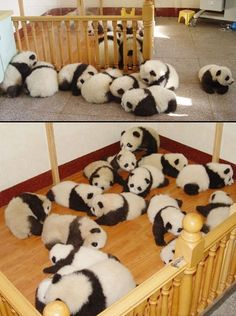 Typically pandas only have one pup per litter so how is this possible? Is someone cloning pandas? And who's going to raise this many pandas and where will thy live? Niedlicher Panda, Panda Love, Cute Panda, Super Cute Animals, Cute Little Animals, Cute Funny Animals, Adorable Baby Animals, Photo Panda, Animal Pictures