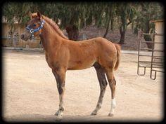 """Penland Ranch Quarter Horse  Banjo Whiz colt """"mooney"""" """"Let's Rein"""""""