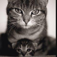 Momma cat protectin baby cat