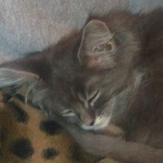 Nero hält Schläfchen Maine Coon, Cats, Animals, Gatos, Animales, Animaux, Animal, Cat, Animais