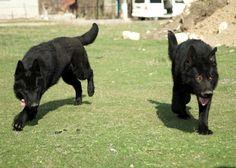 10 months old East German Shepherds