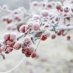 Find Frosted Hawthorn Berries Garden stock images in HD and millions of other royalty-free stock photos, illustrations and vectors in the Shutterstock collection. Thousands of new, high-quality pictures added every day. Nerium, Frost, Berries, Floral, Garden, Nature, Flowers, Red, Image