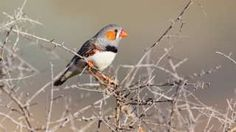 """Zebrafinch 'heat song' changes hatchling development: When the weather is hot, zebra finches in Australia sing to their eggs - and these """"incubation calls"""" change the chicks' development, a study has found. Behavioural Ecology, Zebra Finch, Singing, Eggs, Finches, Bbc News, Climate Change, Animal Kingdom, Animals"""