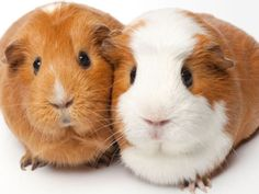 What Type of Guinea Pig Are You? http://ift.tt/29pWlKm  #Animals Cute Funny