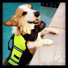 Pool Party Corgi! Stewi, a Pembroke Welsh Corgi, from The Daily Corgi: It's Corgi Pool Par-TAY Time!
