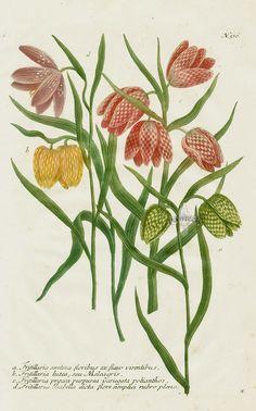 Johann Weinmann Peony, Poppy & Rose Phytanthoza Iconographia 1739