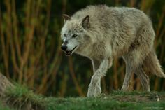 This is Akela – the alpha female of the river wolf pack at the Grizzly and Wolf Discovery Center in West Yellowstone