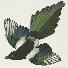 Magpies' BLACK feathers take on an iridescent sheen thanks to structural colour #RainbowNature #ColourAndVision