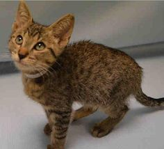 John Wayne is an adoptable Tabby - Brown searching for a forever family near New York, NY. Use Petfinder to find adoptable pets in your area.