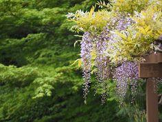#Glicina: una #enredadera con flor del extremo oriente que gusta a todo el mundo · Plantas y Semillas