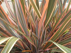 Phormium tenax hybrid or 'Maori Maiden'