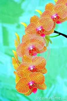 Sonata of vibrant orchids by Pindiyath100, via Dreamstime