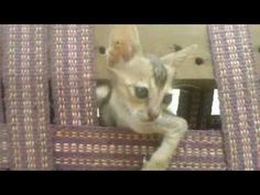 """my cat (very funny) - http://positivelifemagazine.com/my-cat-very-funny/ http://img.youtube.com/vi/R3iTHwBc4sU/0.jpg  Cat behaves very funny funny cats funny cat videos funny cats and dogs funny cats compilation funny cat videos 2016 funny cat videos that will make you laugh … ***Get your free domain and free site builder*** [matched_content] ***Get your free domain and free site builder*** Please follow and like us:  var addthis_config =   url: """""""",  tit"""