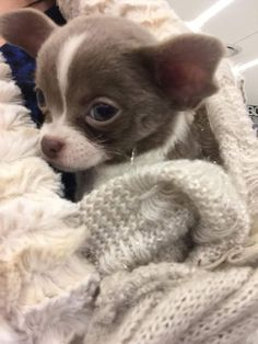 That face! #chihuahua