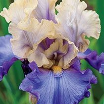 Recurring Delight - Breck's® Reblooming Iris Collection
