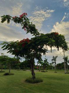 Um pouco antes da pisada fatal. Delonix Regia, Plants, Red, Footprint, Plant, Planets