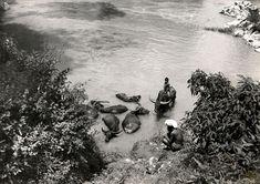 Bij de Toradja's: Karbouwen (Indische runderen) worden in de kali (rivier) gebaad door een jonge oppasser, Midden-Celebes Indonesië, 1948. Indonesië, Midden-Celebes