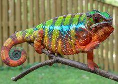 Ambilobe Panther Chameleons -  ;)