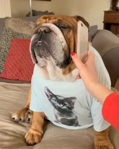 The major breeds of bulldogs are English bulldog, American bulldog, and French bulldog. The bulldog has a broad shoulder which matches with the head. Bulldog Pics, Bulldog Puppies For Sale, Pug Puppies, Cute Dogs And Puppies, Terrier Puppies, Doggies, Boston Terrier, English Bulldog Funny, English Bulldog Puppies