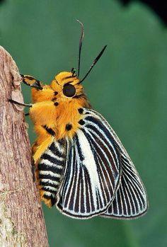Gorgeous Moth