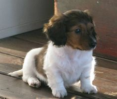 baby long-haired dachshund (: He has the same markings as a boar goat!