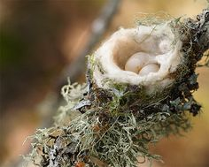 Hummingbird eggs.  the whole nest of a hummingbird is about the size of a quarter...I have never seen one...yet!    <3