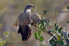 Arrow-marked Babbler (Turdoides jardineii) Kruger National Park
