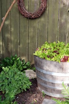 Here is a really quick way to get a lot of lettuce in a short period of time and that is also protected from those pesky slugs and snails.