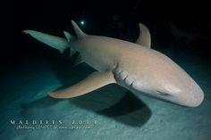 Requin nourrice (Alimathaa) - Voyage plongée aux Maldives #voyage #plongée #Maldives #atoll #requin