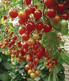 26 Best Plant Sale Tomatoes Heirloom Images Heirloom 400 x 300