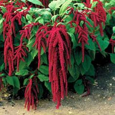 Love-Lies-Bleeding - Red Amaranth. One of the flowers of Capricorn.