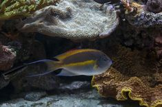 BELLUS ANGELS are AWESOME additions to a reef! One of the few reef safe angels (that are TRULY reef safe). So what are the first steps you take in getting them acclimated to a new tank? Click HERE: https://www.reef2reef.com/threads/advise-for-new-bellus-anglefish.380439/