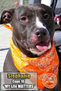 Meet 10  Stephanie, a Petfinder adoptable Pit Bull Terrier Dog | Canton, OH | Picked up as a stray on 3/23/  Available on 3/27. Looking at the photos, it's hard to realize it's...