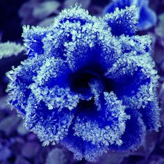 Frosted Blue Rose