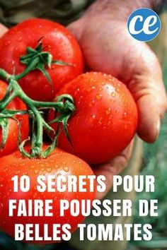 10 Gardener's Secrets to Grow Beautiful and Big Tomatoes Easily. Balcony Garden, Garden Planters, Culture Tomate, Grape Painting, Garden Online, Weed Killer, Growing Tomatoes, Compost, Agriculture
