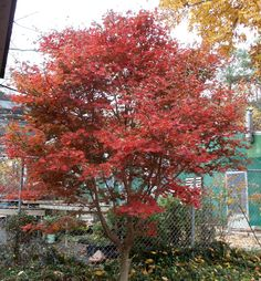 Trompenburg Japanese Maple / Dark Burgandy in Spring ,Turns more red during summer, Full Sun. I love Jap Maples