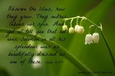 Luke 12:27 - Lily of the Valley Flourishing among the thorns of life... #Jesus #Worry #PeacefulAssurance  |  www.dropsofgratitude.com